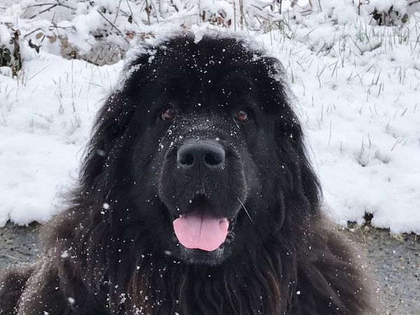 Dog Cold Temperature Snow Sticking Out Tongue Winter
