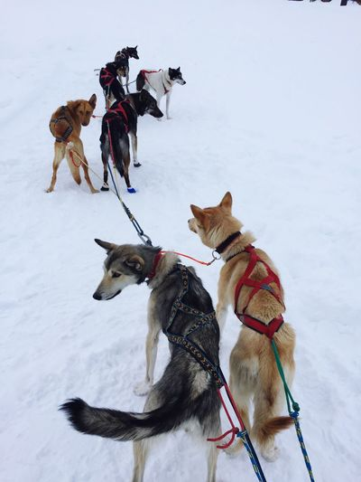 Full length of dogs on snow field
