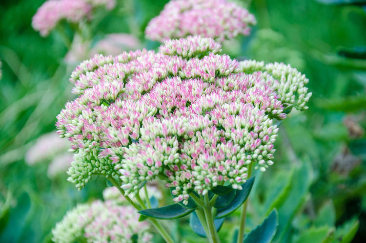 A sedum plant in bloom. Green Color Beauty In Nature Close-up Day Flower Flower Head Flowerbed Flowering Plant Fragility Garden No People Pink Color Plant Sedum Stonecrop Vulnerability