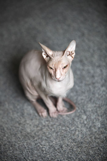 Animal Themes Cat Cats Close-up Day Domestic Animals Domestic Cat Don Sphynx Feline Full Length High Angle View Indoors  Looking At Camera Mammal No People One Animal Pets Portrait Sitting