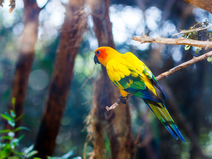 Sun parakeet perching on stick in forest