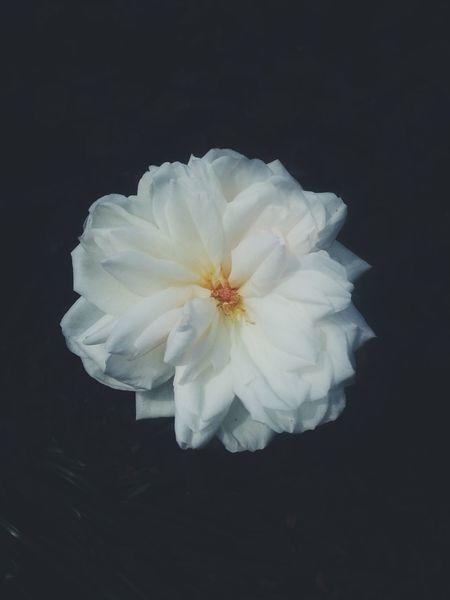 Sin pensamiento no hay dañoo Beautiful Rose ♡ Rosé Blanca