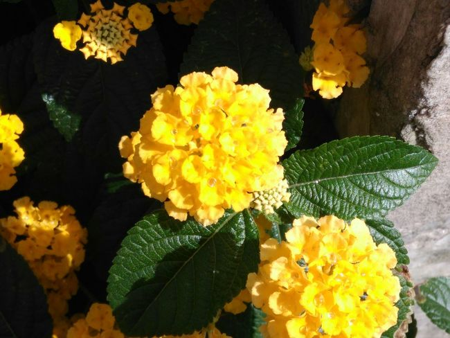 Flower Fragility Flower Head Petal Freshness Nature Yellow Beauty In Nature Close-up Lantana No People Plant Outdoors Growth Day Leaf Lantana Camara