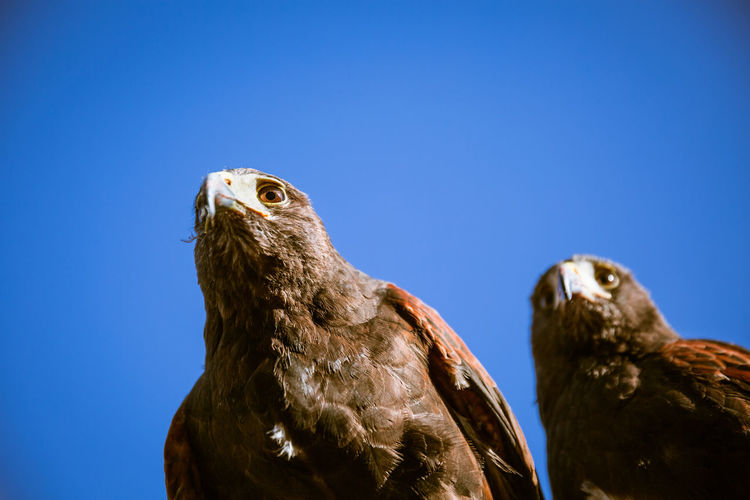 two eagles side by side and blue sky Day Natural Light Bird Animal Themes Animal Animal Wildlife Bird Of Prey Eagle No People Outdoors London Europe Wildlife Blue Sky Two Animals Animals In The Wild Close-up Beak Looking Away Sky Clear Sky