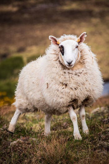 Sheep standing on rough moorland on a scottish hill farm in the highalnds