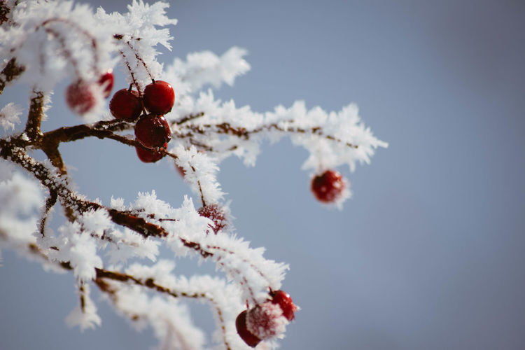 Winter Cold Temperature Sky Nature Fruit Day Snow No People Plant Tree Close-up Beauty In Nature Frozen Berry Fruit White Color Branch Focus On Foreground Food Healthy Eating Ice Outdoors Rowanberry
