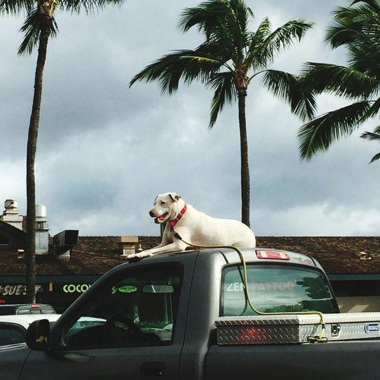 Aloha Guard Dog Hanging Loose
