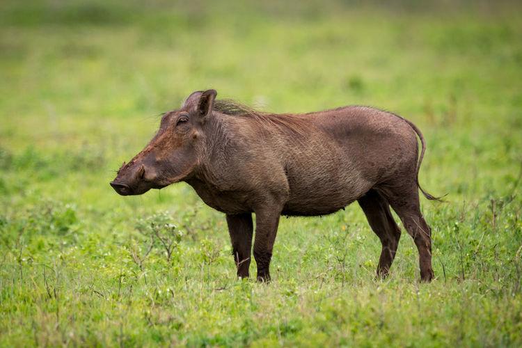 Wild boar on grassy field