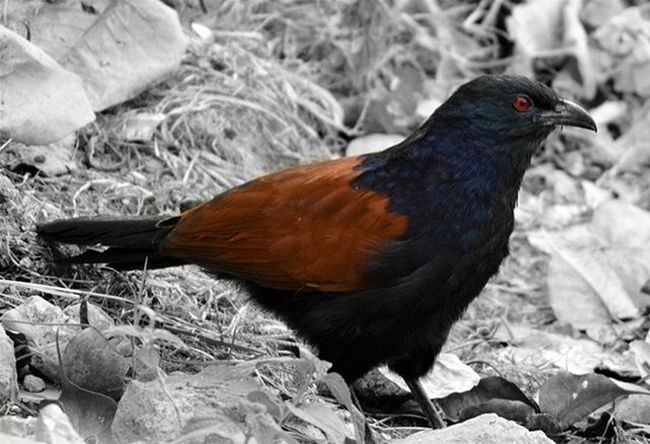 Greater Coucal 🐦 . . . Bird Outsidemywindow Birdlove Birdphotography Birdlife Birdsofinstagram Birdstagram Greatercoucal Shotsbyyouold Splendid_colorsplash Ig_shots Igersmood Instagram Indianphotographyclub Thisismymuse MyShoeboxOfPhotographs Ig_select Natureshots Igs Igersindia Birdsofindia Photographyislove Likeforlike Tagsforlikes Phototag_it nature nikon