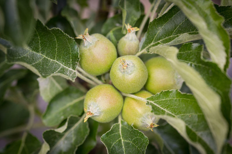 Apple Appletree Growing Agriculture Apple - Fruit Apple Tree Apples Day Food Food And Drink Freshness Fruit Green Color Growing Apples Growth Leaf Nature No People Not Ripe Organic Outdoors Plant Plant Part Small Tree