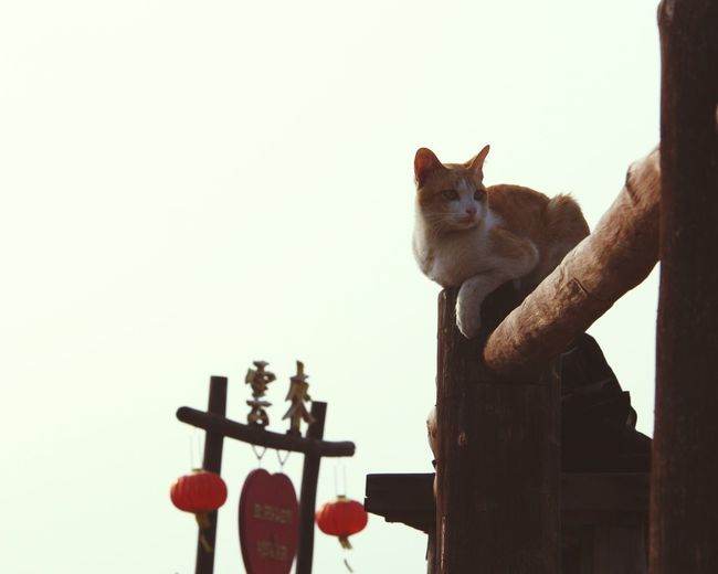 Cat Guardian Chinese Lantern Warm Colors Poetry No People