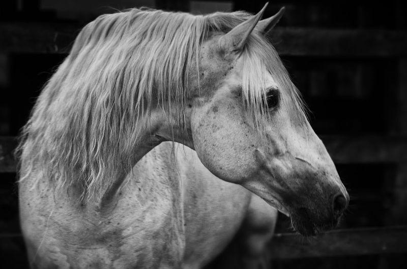 Animal Head  Blackandwhite Horse Mammal White