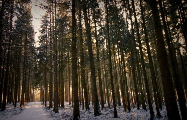 Tree Snow Forest Winter Nature Cold Temperature Beauty In Nature Rays Of The Sun Nature Photography Sun Rays Of Sunshine