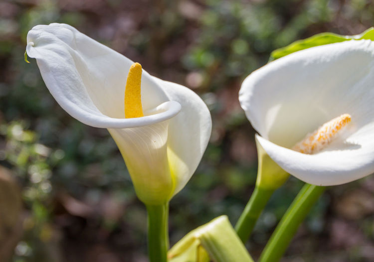 Close-up of calla lily flowers