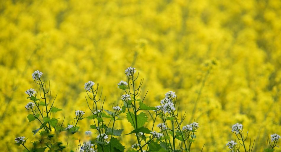 Wiltshire Farmland Rapeseed Field Cow Parsley Yellow Flower Flowering Plant Plant Beauty In Nature Growth Freshness Field Nature Land Flower Head Green Color