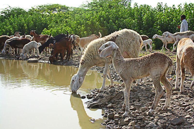 Service Animals India Sheep@Work Wool Village Life Sheep