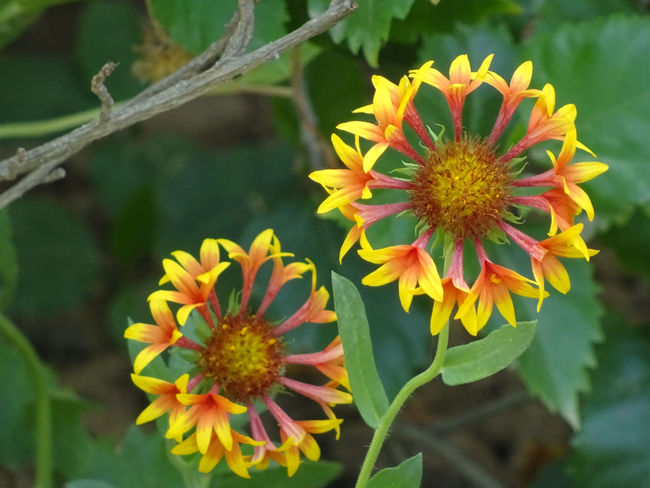Flora & Fauna Beauty In Nature Blooming Close-up Day Flora Flower Flower Head Fragility Freshness Garden Photography Growth Nature Nature Photography No People Outdoor Photography Outdoors Petal Plant Pollen Rakeshtiwari Yellow Zinnia