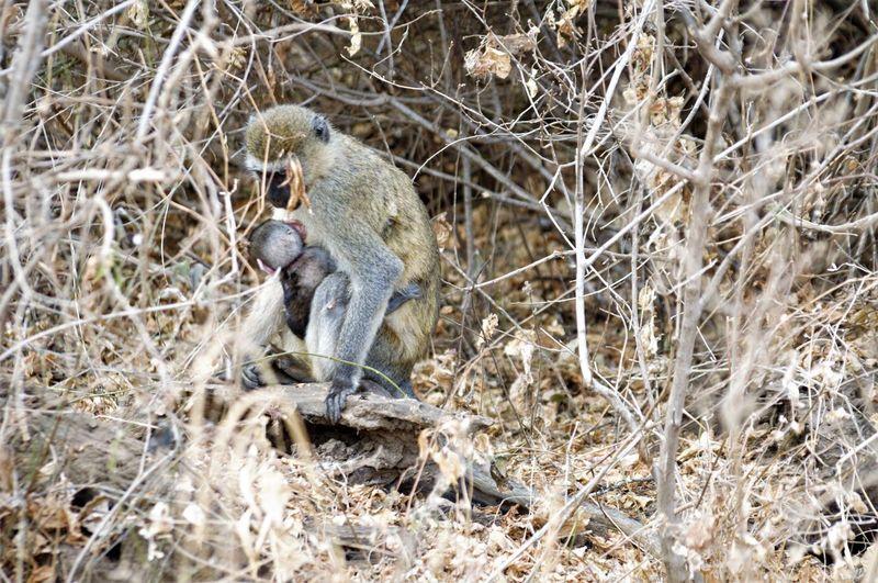 Animal Themes Animal Wildlife Animals In The Wild Baboon Branch Day EyeEmNewHere Family Mammal Monkey Monkeys Nature No People One Animal Outdoors Safari Animals Sitting Small Monkey