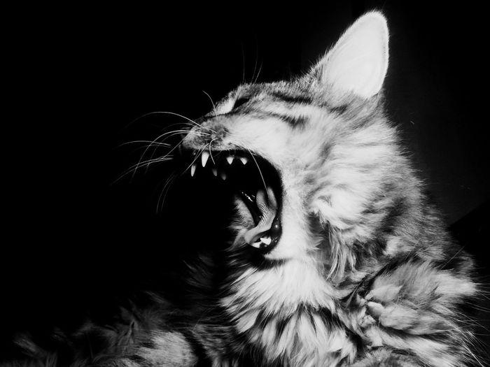 Close-up of cat yawning against black background