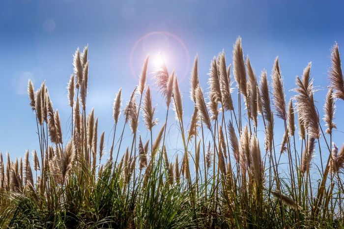 Pampas Grass Closeup Lens Flare Plants Pampas Grass In The Breeze Pampas Grass Growing Wild Pampas Grass Grassy Grass Growth Nature Plant Field Tranquility Outdoors Beauty In Nature No People Freshness Sky Close-up Summer Exploratorium The Great Outdoors - 2018 EyeEm Awards