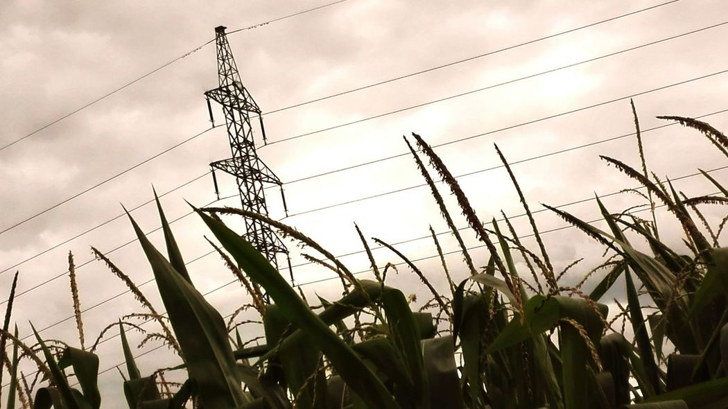 Array Field Corn Sunny Fine Art Photography
