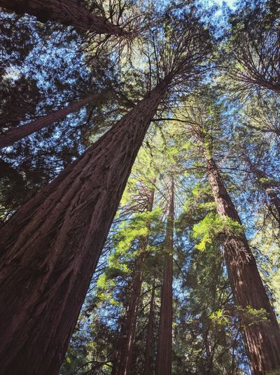 Tree Low Angle View Growth Nature No People Beauty In Nature Forest Day Outdoors Sky Tree Trunk Tree Canopy  Treetop Tranquil Scene Scenics Freshness Muir Woods California