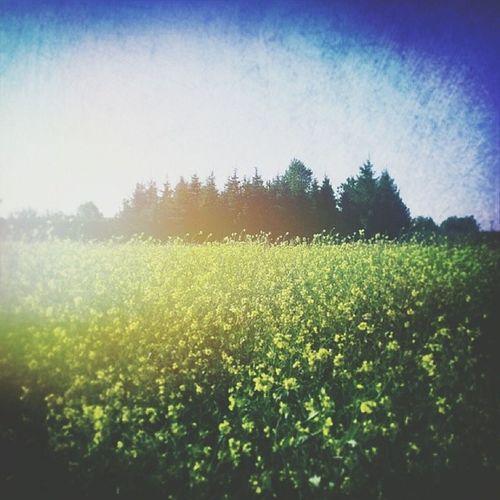 ☀???Pieknydzien Znalazłam Taki Rzepak jesien sunnyday autumn meadow photoshoot horizon skyporn nature sky_collection flowers beautifulday