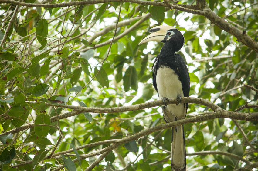 Animal Beauty In Nature Bird Black Hornbill Branch Day Hornbill Low Angle View Nature No People Outdoors Perching Singapore Birds Tree EyeEmNewHere