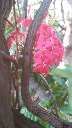 Red Red Color Red Flower Red Flowers Red Background Lxora Flower Lxora Flowers Lxora Lxoras Spike Flowers Spike Flower ดอกเข็ม Flower And Butterfly Flower And Tree Flower Tree Flower Head Pink Color Branch Close-up Plant