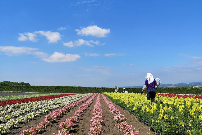 Farmer Perspective Agriculture Cloud - Sky Colorful Farm Field Flower Flowerbed Flowering Plant Growth Horizon Landscape Perspective Photography Plant Real People Rows Of Flowers Sky Summer Sunny Day Tomita Farm