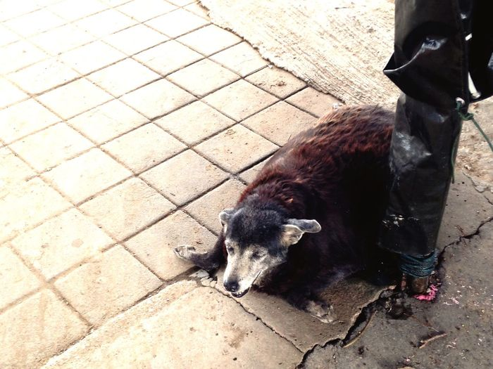 Railway dog Thai Street Dog Thai Dog Sleepy Afternoon Nap Old Dog Bangkok Thailand