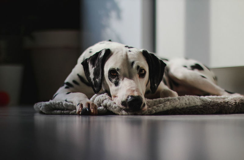 Portrait of a dog resting on floor