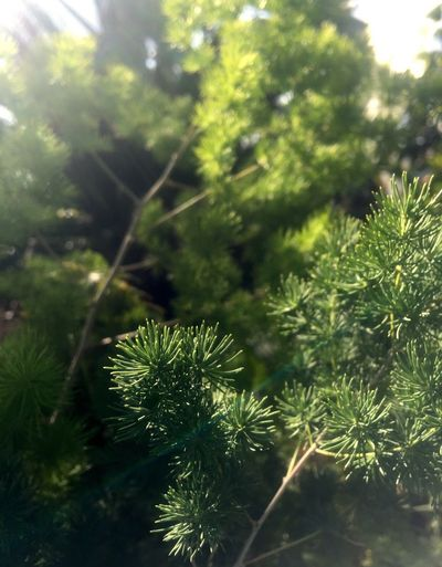 Growth Green Color Nature Tree Plant No People Beauty In Nature Close-up Outdoors Day Needle - Plant Part