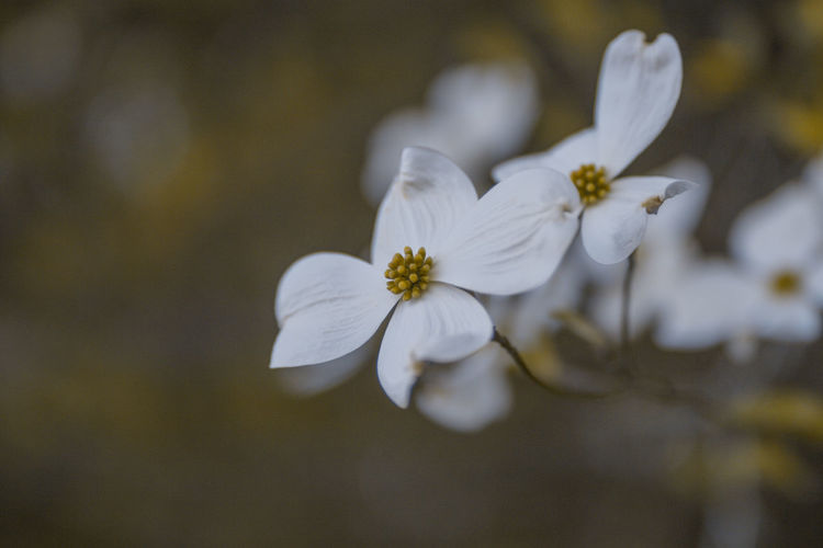 Dogwood blossom Beauty In Nature Bloom Blooming Blossom Close-up Dogwood Dogwood Blossom Dogwood Tree Dramatic Flower Flower Head Fragility Growth Macro Nature Nature Outdoors Petal Plum Blossom White Color White Flower