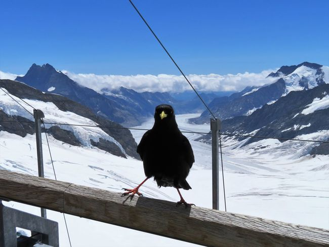 Funny Alpine Chough Animal Themes Animal Wildlife Animals In The Wild Beauty In Nature Bird Black Color Cable Chough Cold Temperature Full Length Glacier Jungfrau Mountain Nature No People One Animal Outdoors Perching Sky Snow Swiss Alps Switzerland Winter