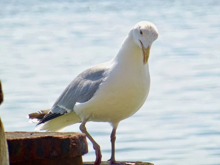 A seagull resting on a hot day Animal Themes Animal Animal Wildlife Bird Animals In The Wild One Animal Perching Close-up No People Sea Seagull Focus On Foreground Beauty In Nature