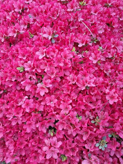 Backgrounds Full Frame Pink Color Pink Outdoors Nature Spring Springtime Flower Pink Flowers P9 Huawei Smartphonephotography Bright Pink Bright Pink Flower Close Up Flowers Botanical Gardens Rhododendron Flowers Bloom Pink Blooms Flowers,Plants & Garden Blooming Love Pink Love Springtime Garden Photography