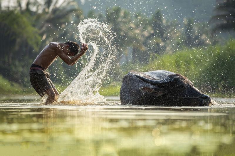 Boy splashing water by buffalo in river