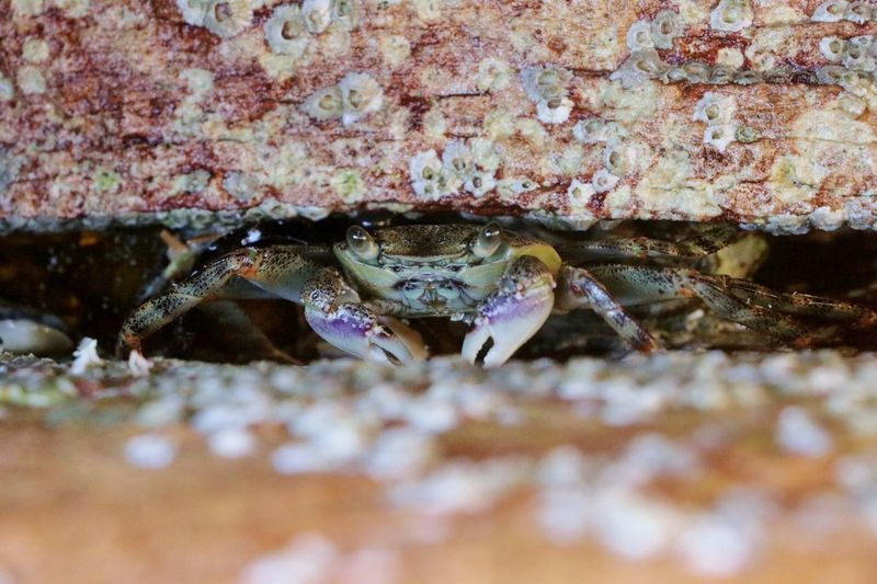 Australia Crab Crustacean Sandwiched Stradbroke Island Animal Themes Animal Wildlife Animals In The Wild Beach Between Rocks Blue Swimmer Crab Claws Close-up Day Nature No People One Animal Outdoors Queensland Sand Sea Life Shell Shells Swimmer UnderSea