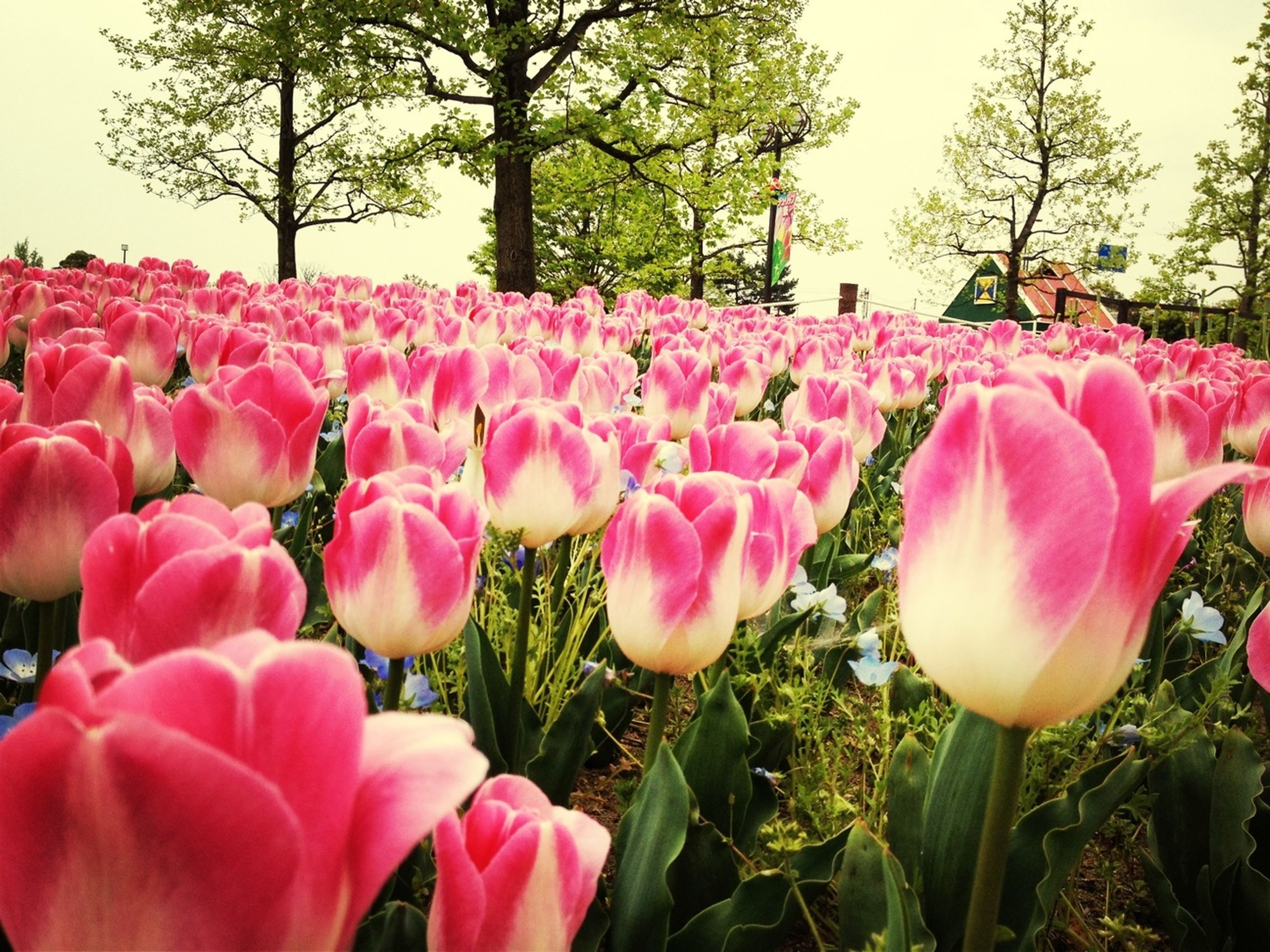 flower, pink color, freshness, petal, tulip, fragility, growth, beauty in nature, flower head, nature, plant, blooming, pink, field, close-up, day, park - man made space, blossom, outdoors, no people
