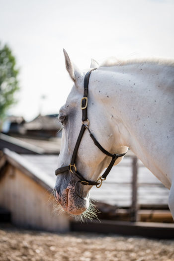 Lipizzaner Lipizzaner Domestic Livestock Domestic Animals Mammal Pets Horse Animal Themes Vertebrate Animal One Animal Working Animal Animal Wildlife No People Day Bridle Animal Body Part Field Herbivorous Close-up Nature Animal Head  Outdoors Ranch