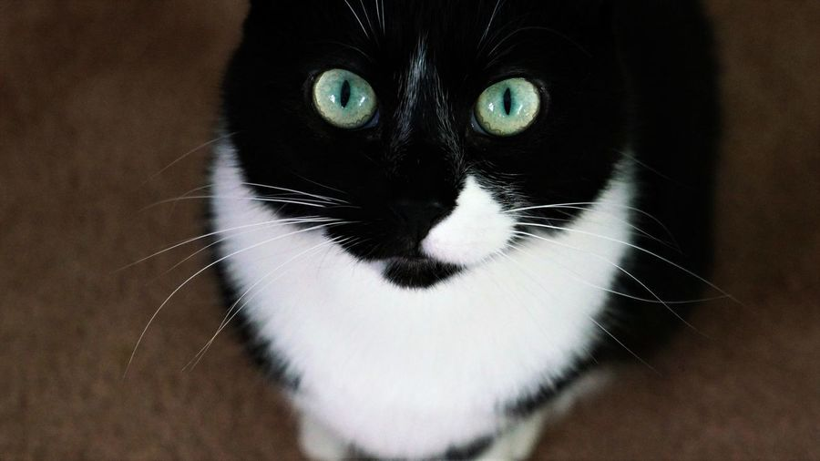 Toothless Cat Pets Domestic Feline Mammal Domestic Cat Domestic Animals One Animal Portrait Looking At Camera Close-up Whisker Indoors  Vertebrate No People Eye Focus On Foreground Animal Eye Green Eyes