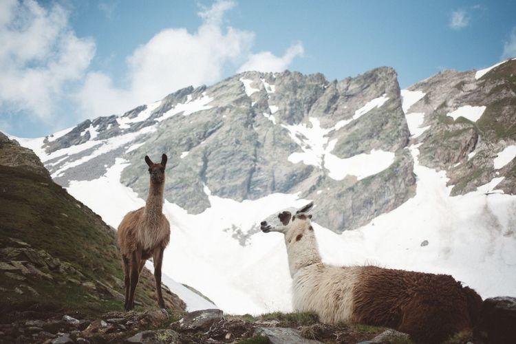 Two Mountain Goats On Mountain