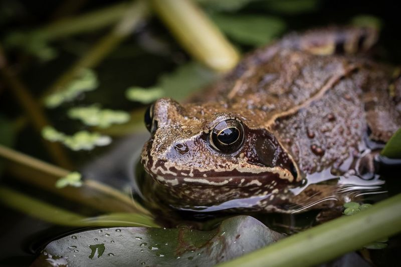 frog Macro Wildlife Animal Themes Animal One Animal Animals In The Wild Animal Wildlife Amphibian Nature Close-up Frog Water Animal Head