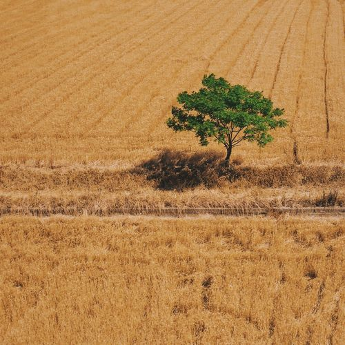Tree and Wheat field Land Plant Sand Day Landscape Growth Field Nature Tranquility Agriculture Environment Scenics - Nature Tree No People Tranquil Scene Outdoors Beauty In Nature High Angle View The Traveler - 2019 EyeEm Awards