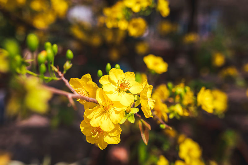 Apricot Tree Apricot Flowers Yellow Flower Beauty In Nature Blooming Bud Close-up Flower Growth Petal Plant Sun Light Yellow