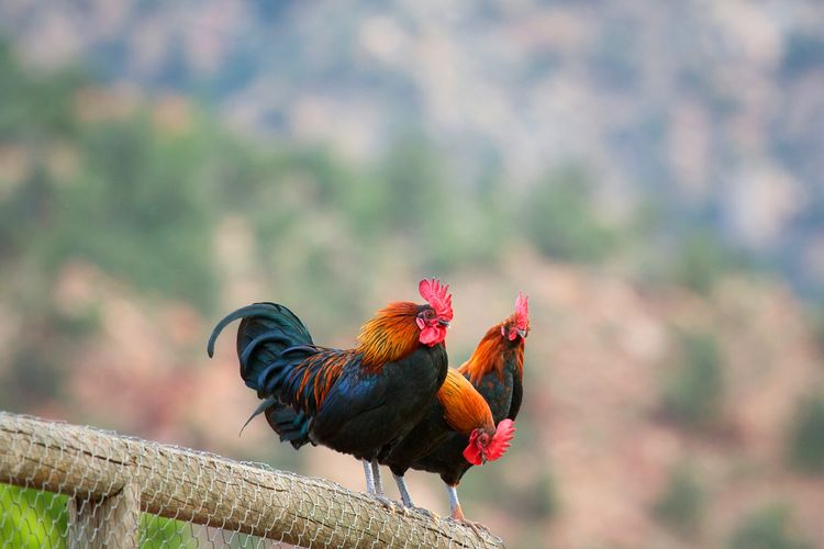 Roosters Perching On Fence