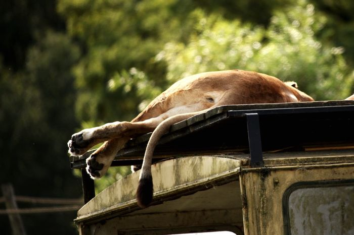 Lioness Relaxing on a Jeep Fine Art Photography Beekse Bergen My Favorite Place Going Remote