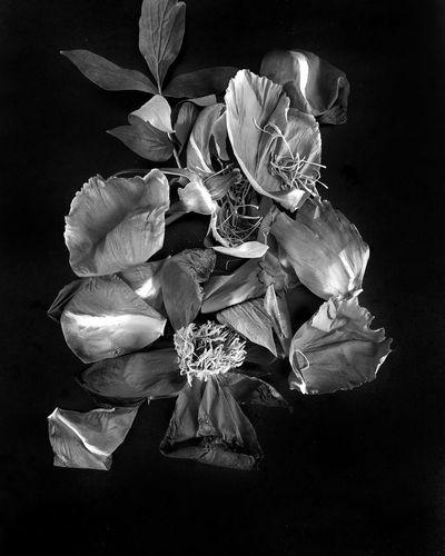 Black peonies Flower Head Flower Black Background Perfume Gift Petal Close-up