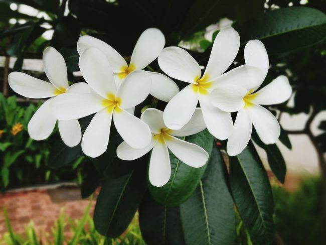 Flower Petal Nature Flower Head Plant Beauty In Nature White Color Close-up Day Fragility Growth Focus On Foreground Outdoors Freshness No People Frangipani